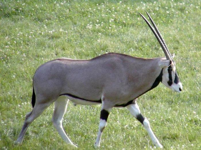 Image Oryx Gazella Beisa Beisa Oryx Biolib Cz
