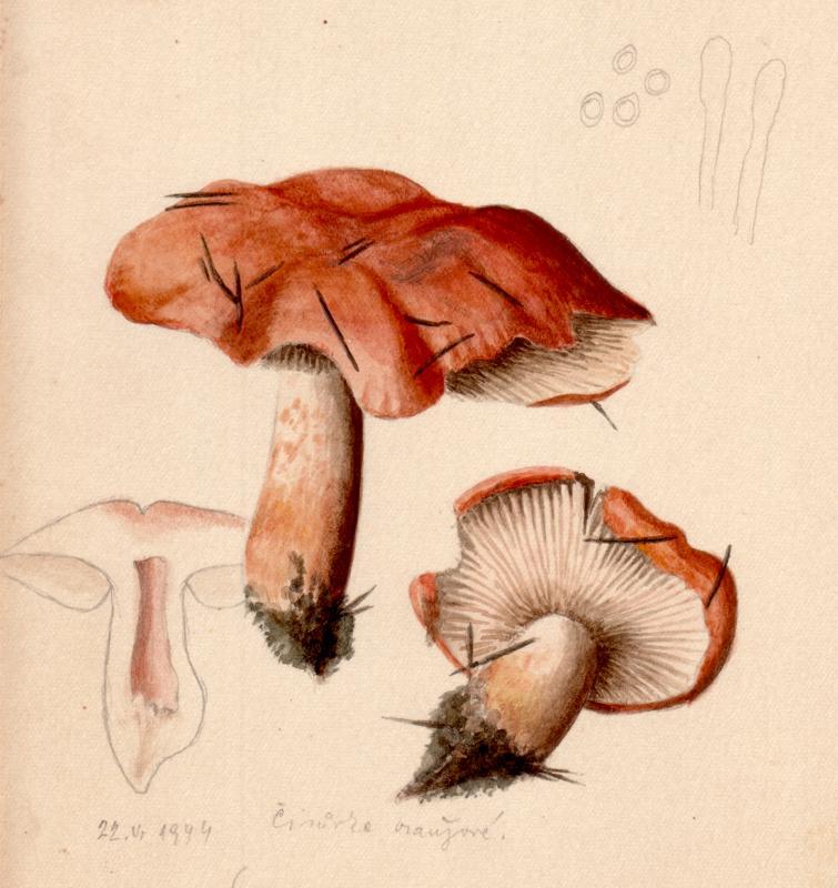 Agaricus aurantia image