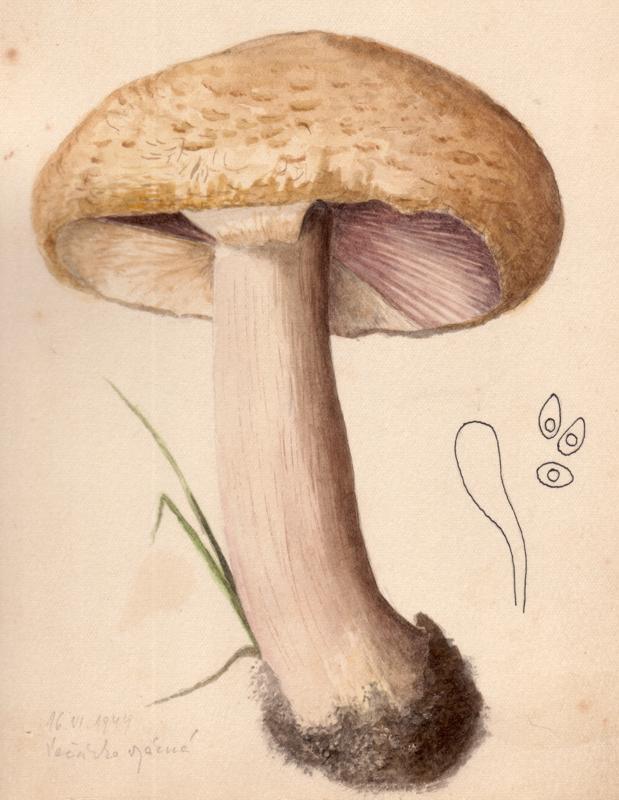 Agaricus aureolamellatus image