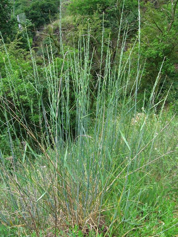Elymus hispidus - Intermediate Wheatgrass