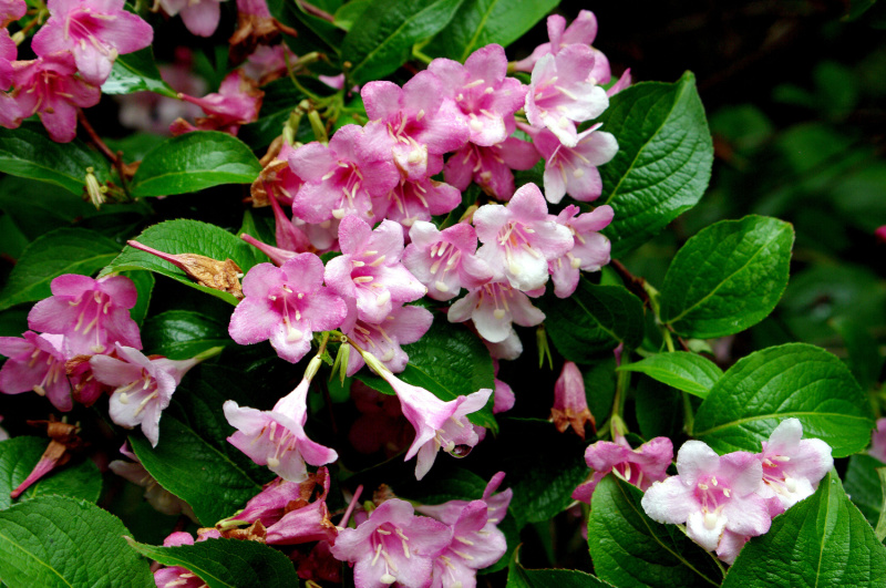 Weigela florida - Weigelia