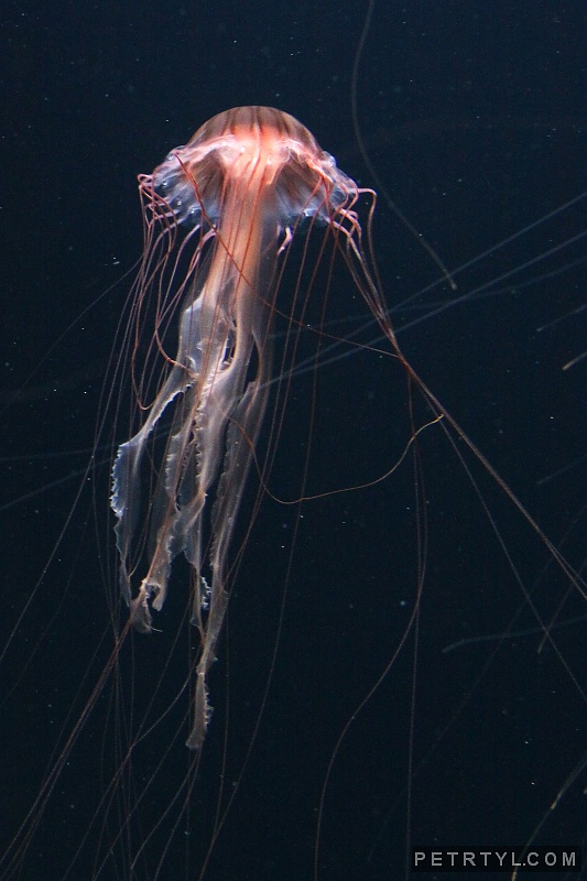 Chrysaora melanaster - Japanese Sea Nettle