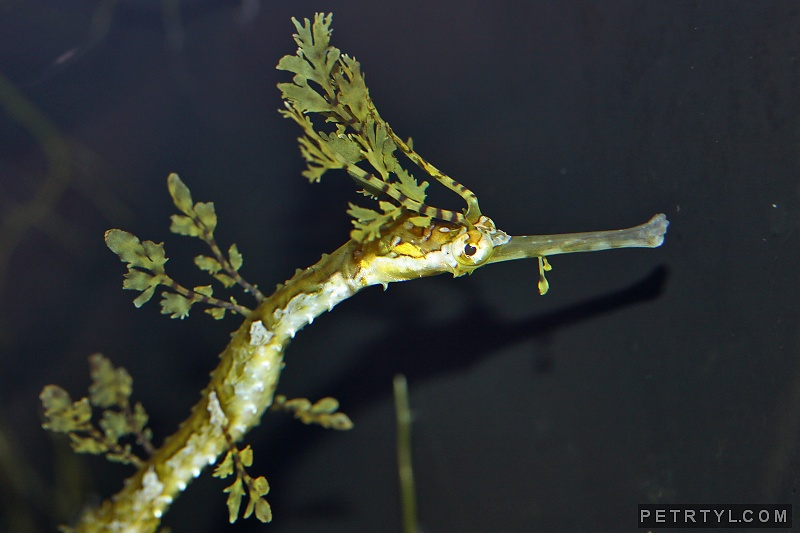 Haliichthys taeniophorus - Ribboned Pipefish