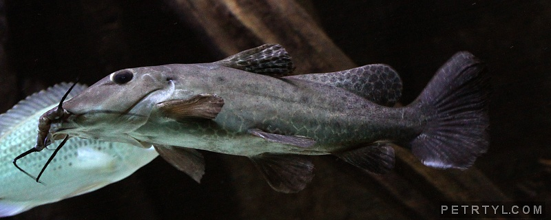 Auchenoglanis occidentalis - Armoured Catfish