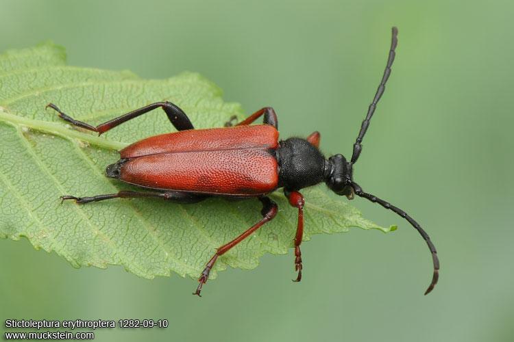 Жук-усач Stictoleptura erythroptera, фото насекомые фотография