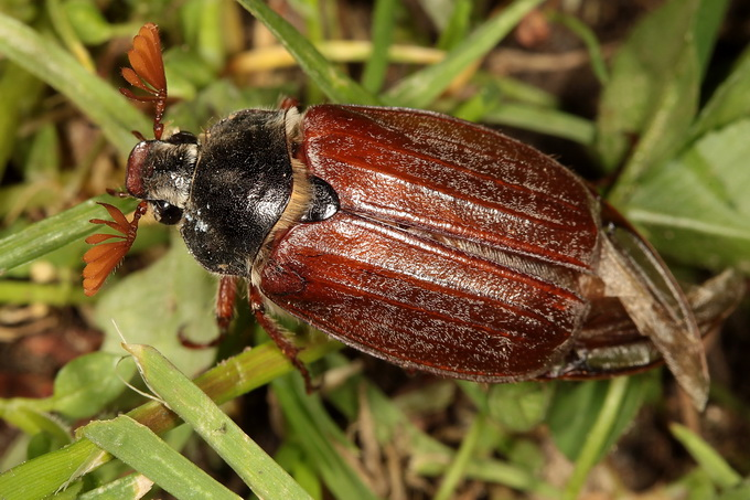 Melolontha melolontha - Common Cockchafer
