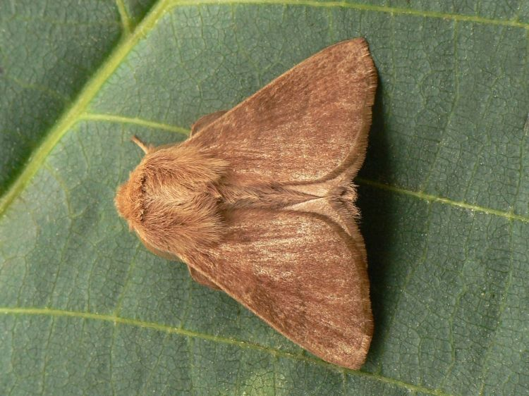 Malacosoma neustria neustria - The Lackey