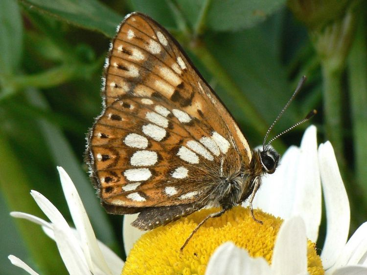 Hamearis lucina - Duke of Burgundy