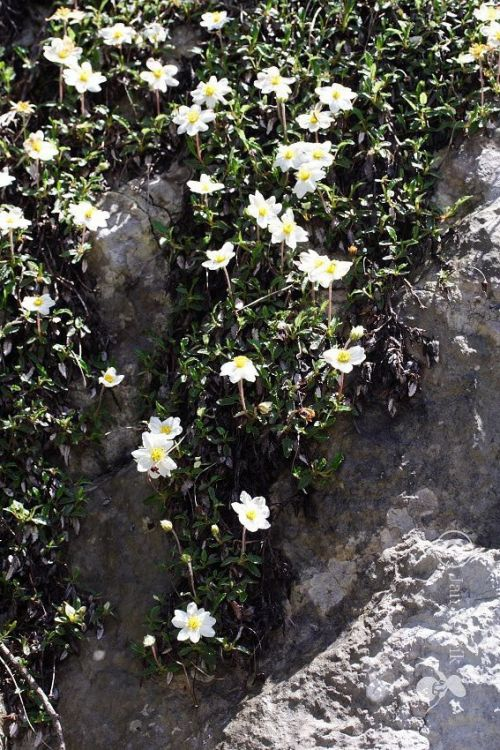 Dryas octopetala - Mountain Avens