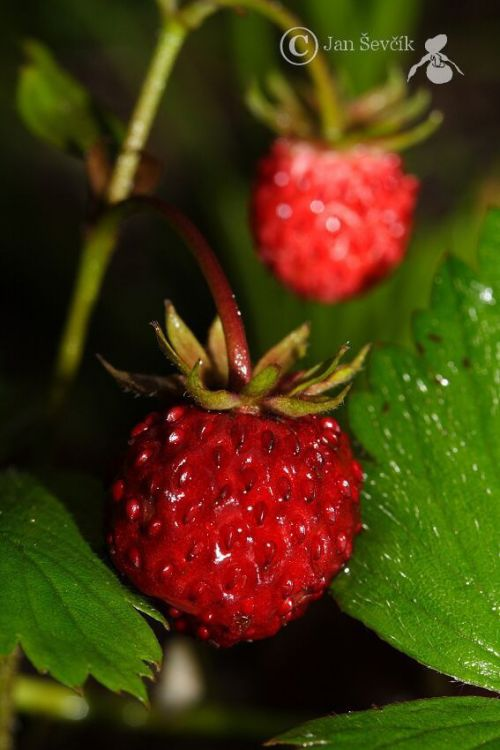 Fragaria vesca - Wild Strawberry