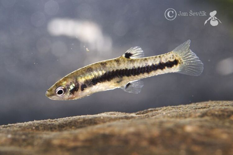 Heterandria formosa - Least Killifish