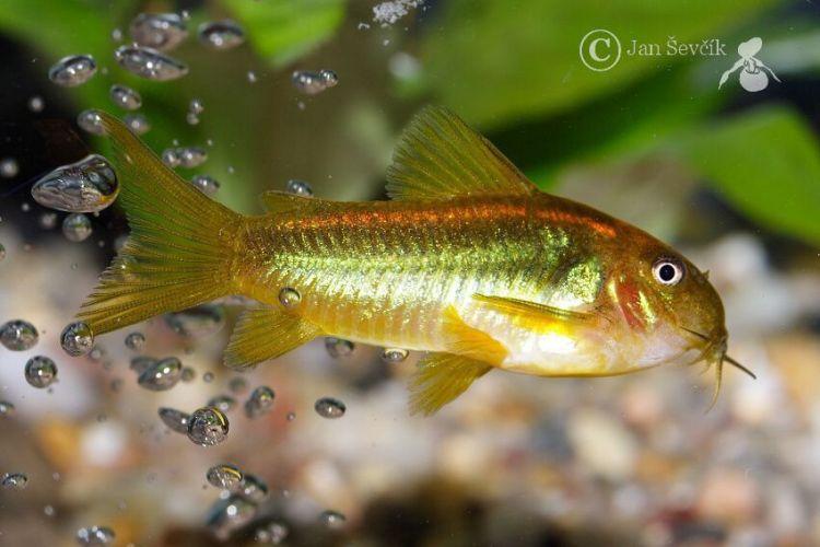 Bronze cory catfish for Cory cat fish
