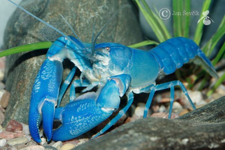 Cherax destructor - Common Yabby