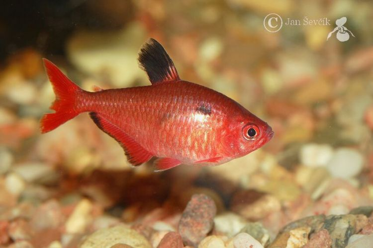 Hyphessobrycon eques - Blood Characin