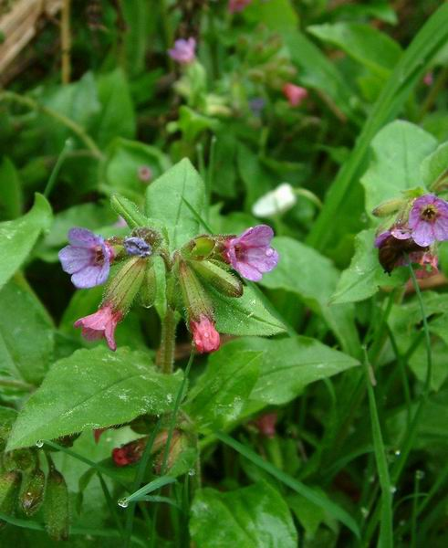 Pulmonaria officinalis - Common Lungwort