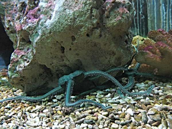 Ophiarachna incrassata - Green Brittle Star
