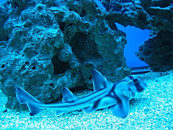 Chondrichthyes Cartilaginous Fishes Biolib Cz