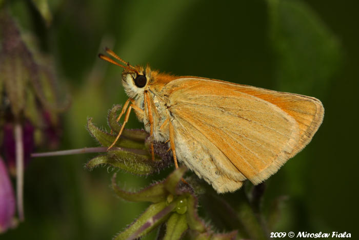 Thymelicus lineola - Essex Skipper