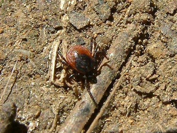 Ixodes ricinus - Common Tick