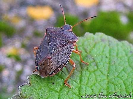 Palomena prasina f. rosea - Green Shield Bug