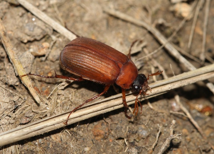 Serica brunnea - Brown Chafer