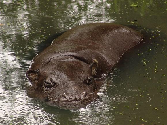 Hexaprotodon liberiensis - Pygmy Hippopotamus
