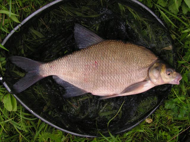 Abramis brama - Aral Bream