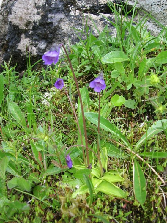 Pinguicula vulgaris subsp. vulgaris - Common Butterwort