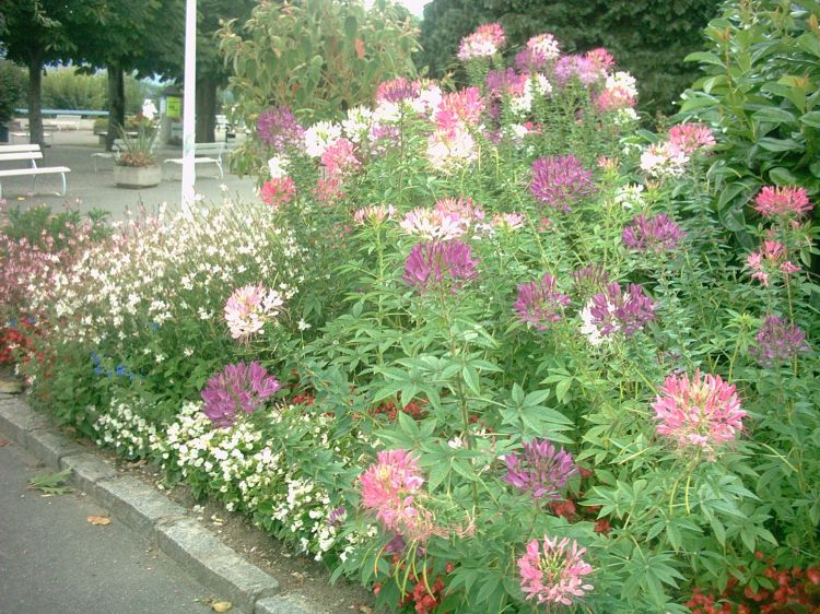 Cleome spinosa image
