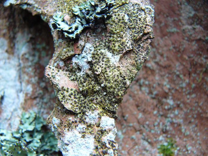 Arthonia vinosa image