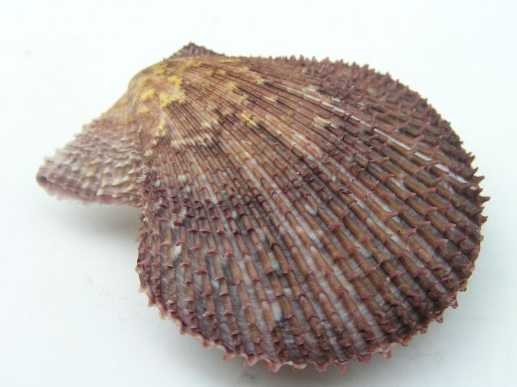 Mimachlamys varia - Variegated Scallop