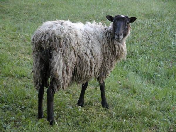 "Ovis orientalis aries ""Romanov Sheep"" - Romanov Sheep"