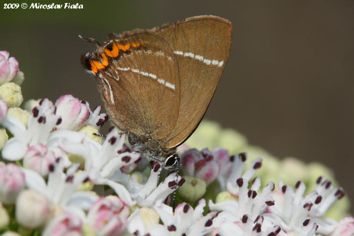 Satyrium w-album - White-letter Hairstreak