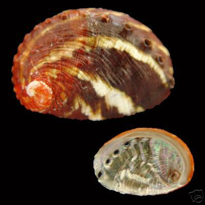 Haliotis varia - Variable abalone