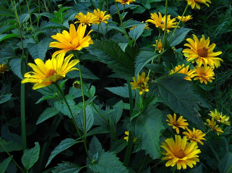 Heliopsis helianthoides - Rough Oxeye