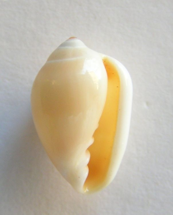 Marginella monilis