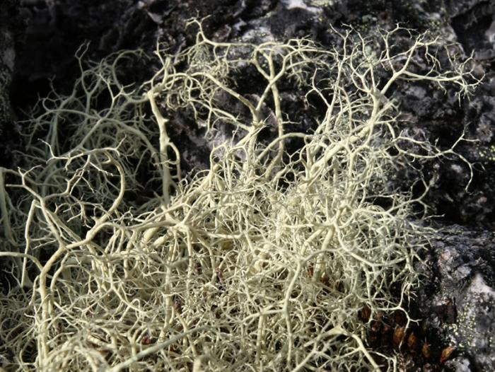 Alectoria ochroleuca - Witch's Hair Lichen