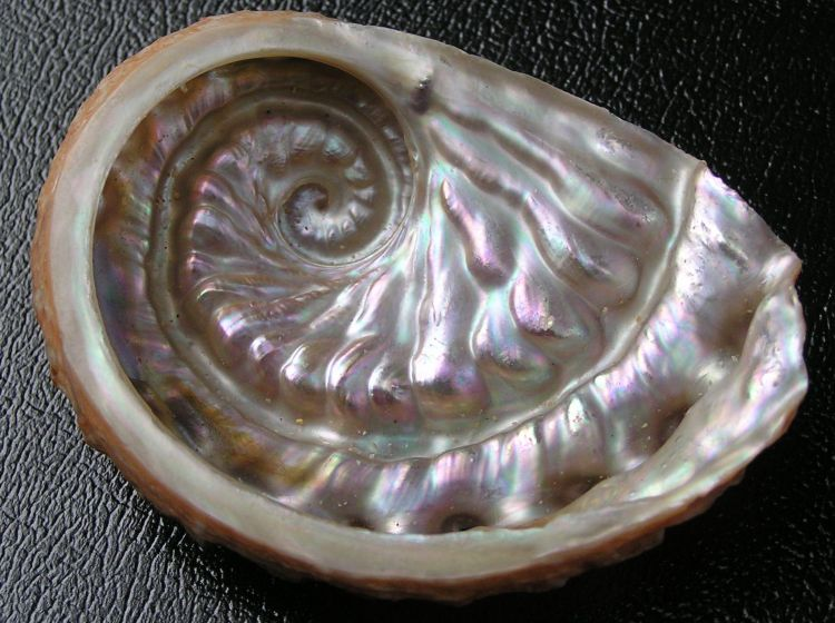 Haliotis scalaris - Staircase abalone