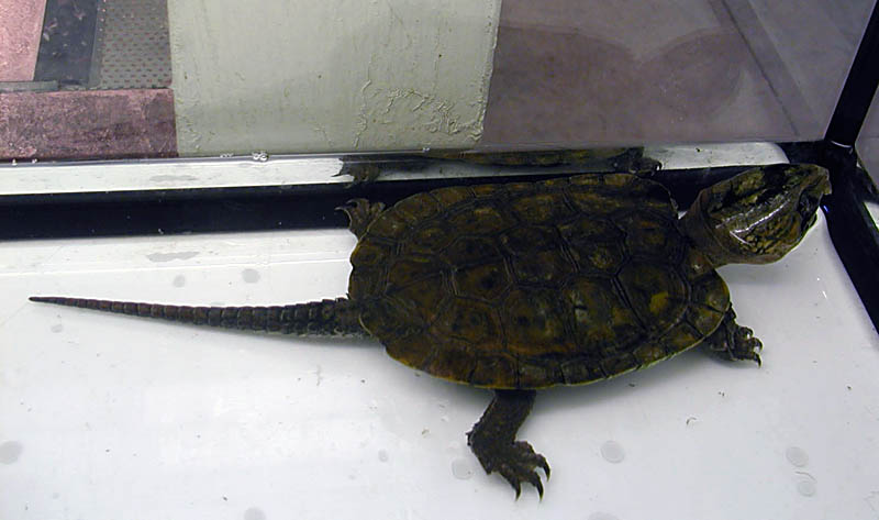 Platysternon megacephalum - Big-headed Turtle
