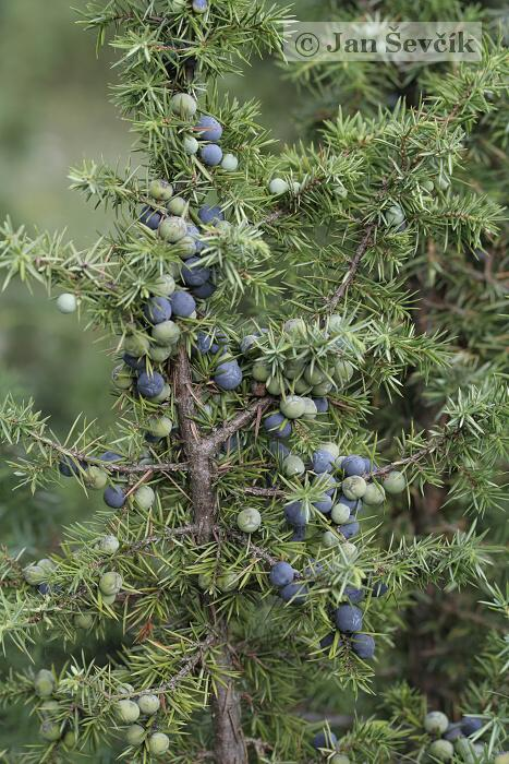 Juniperus communis subsp. communis - Common Juniper