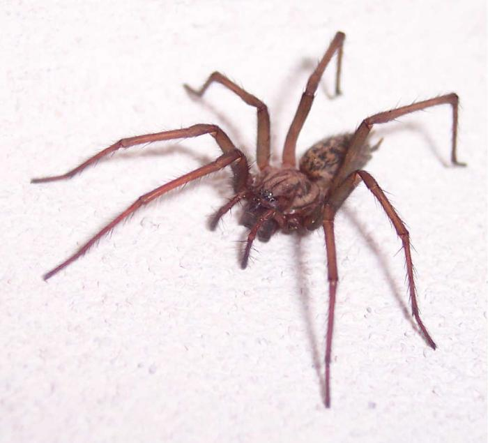 Tegenaria domestica - Small House Spider