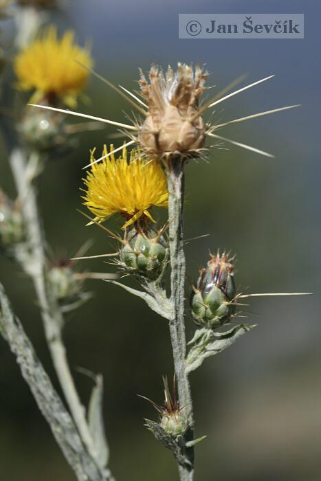 Centaurea solstitialis - Yellow Star-thistle