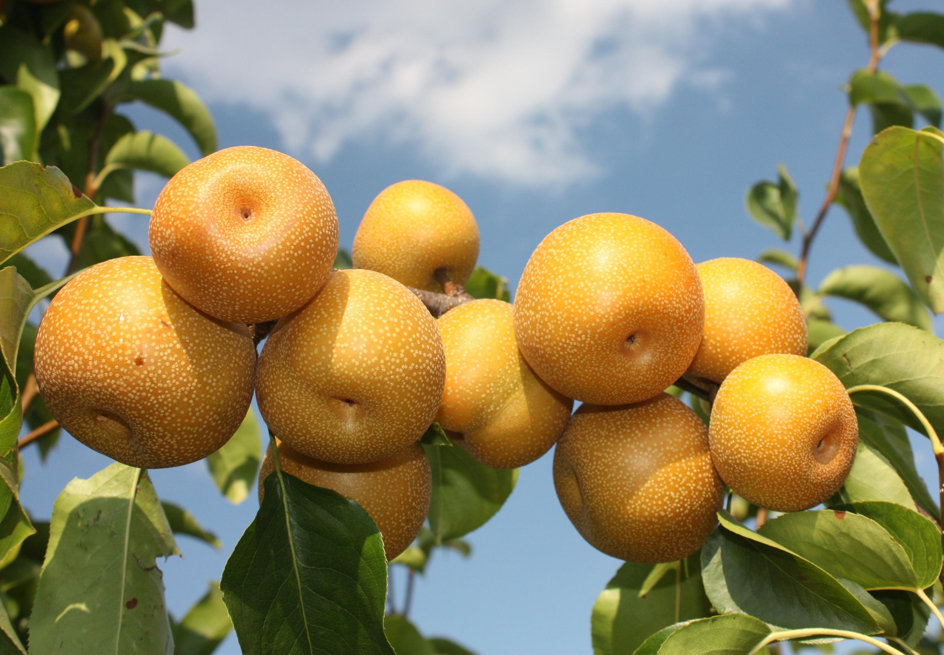 Esta fruta es el mejor remedio para la resaca
