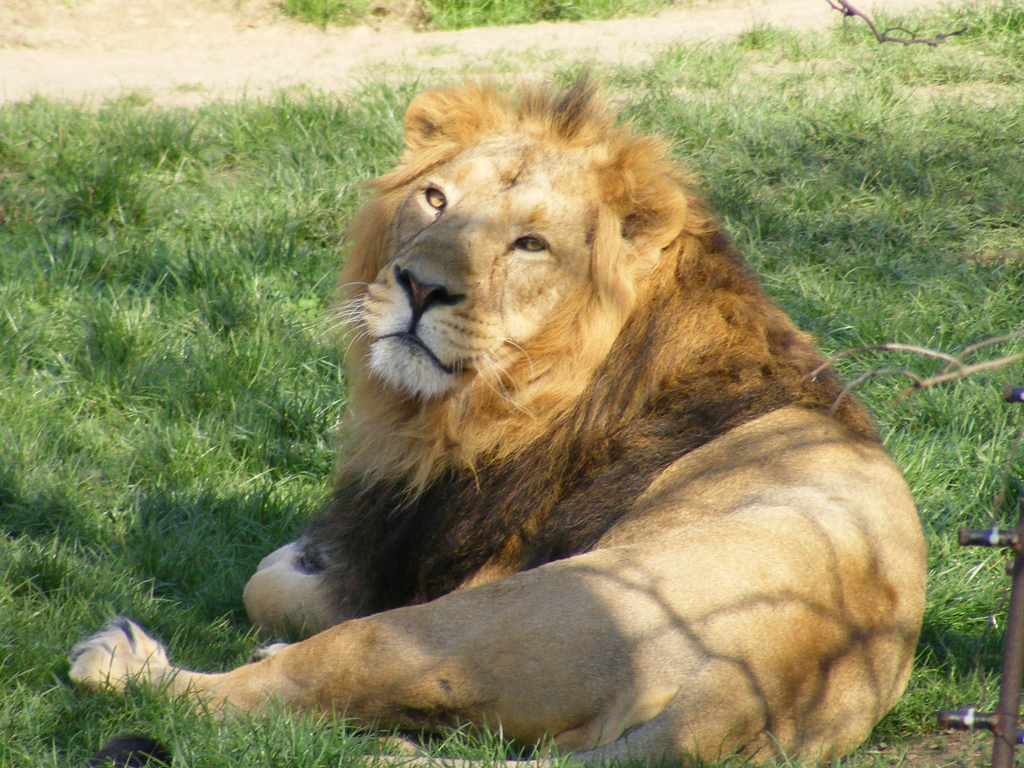 Panthera leo persica - photo#38