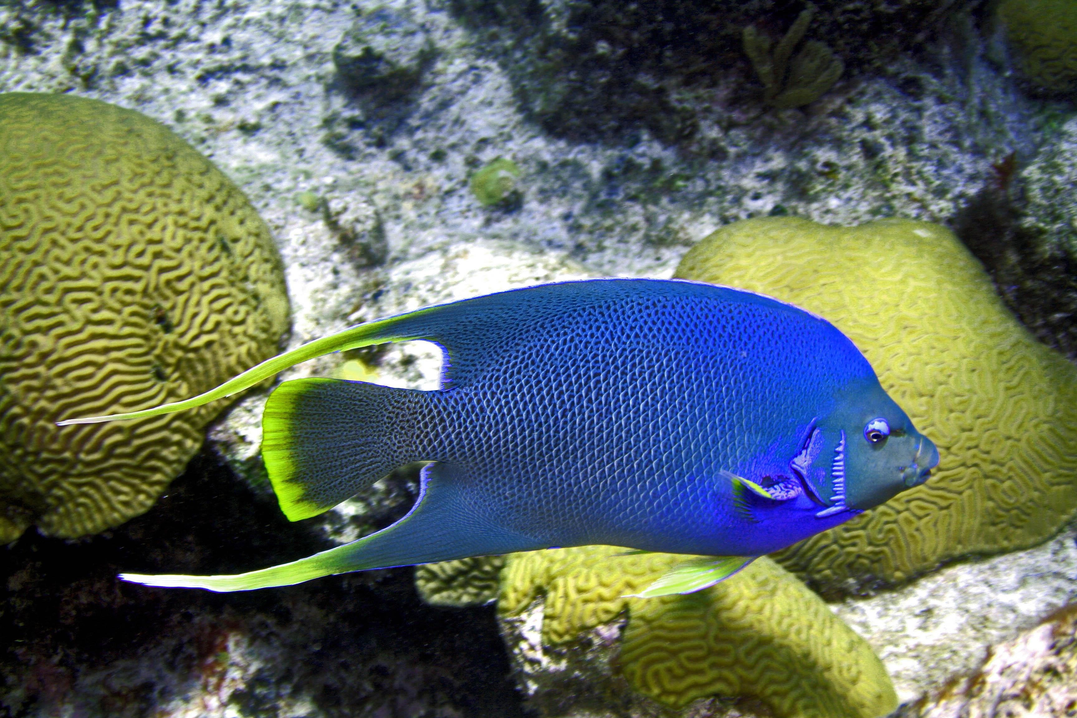 Image holacanthus bermudensis blue angelfish for Blue saltwater fish