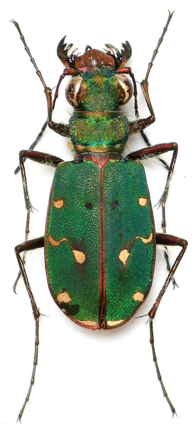 Image Cicindela Campestris Suffriani Green Tiger Beetle