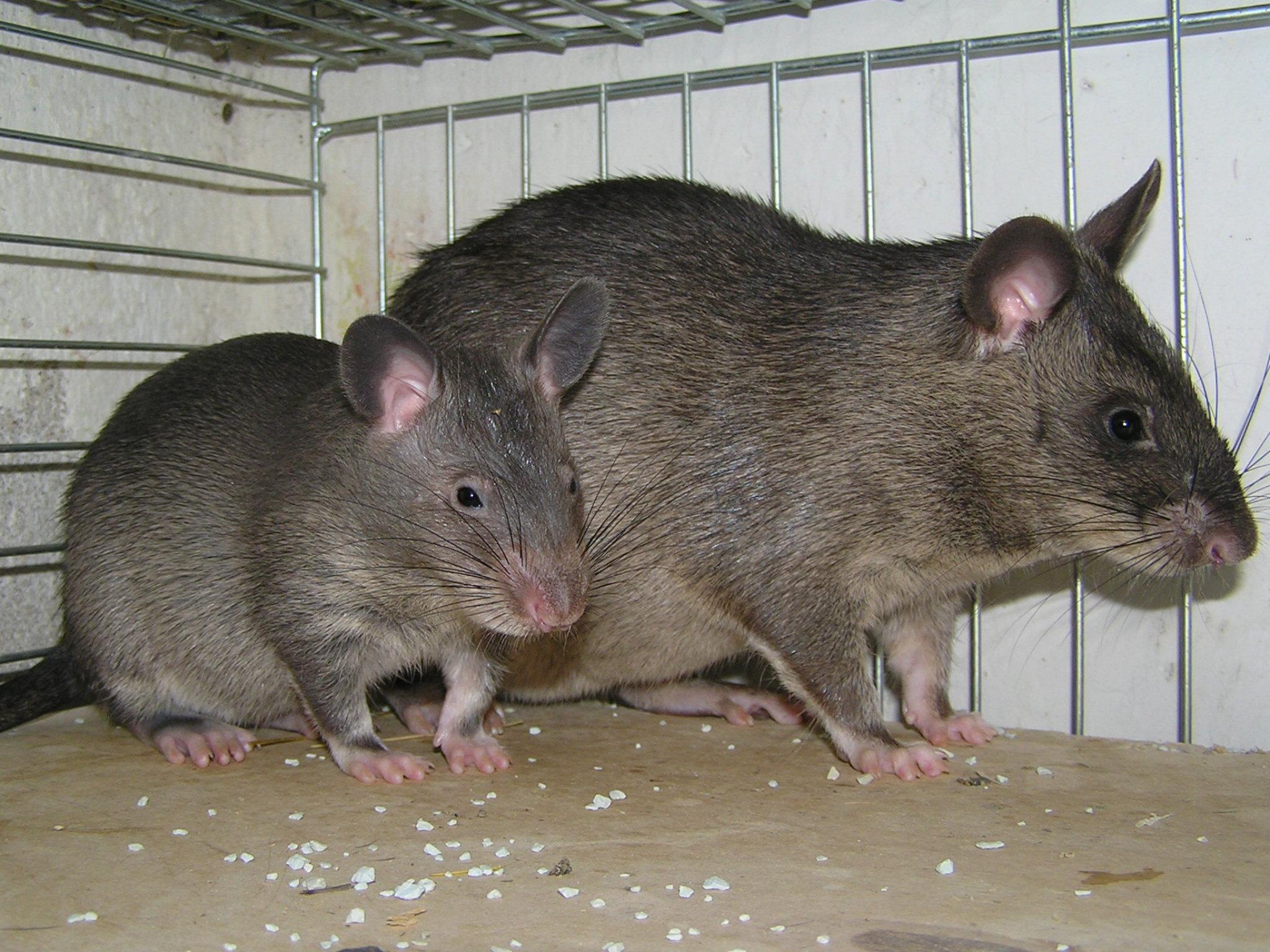 Image cricetomys gambianus gambian pouched rat - Como eliminar ratones en el hogar ...