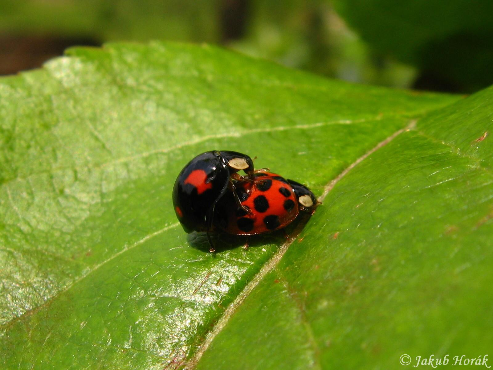 asian Multi beetles colored lady
