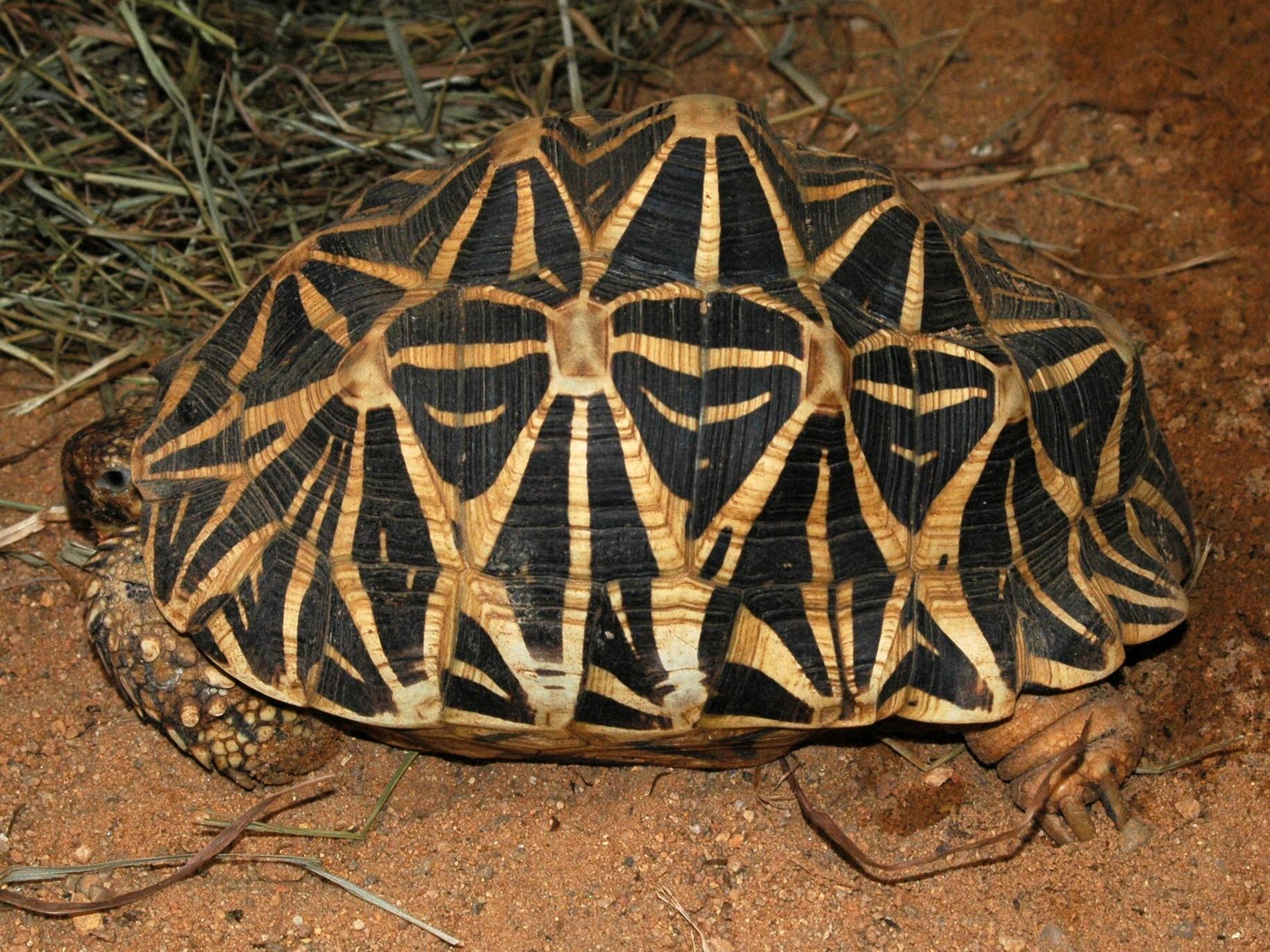 Звёздчатая черепаха фото 4