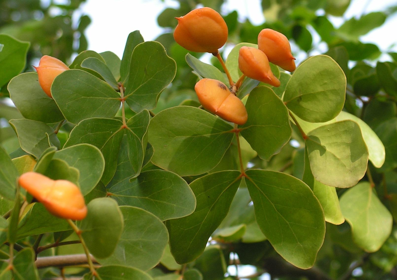 будет гваяковое дерево фото иллюстрирована фотографиями автора